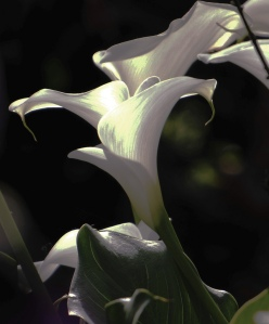 """White Lily"" by weapher via Flickr"